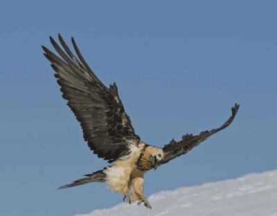 Observation bearded vulture